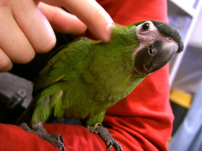 roodschouder-ara
