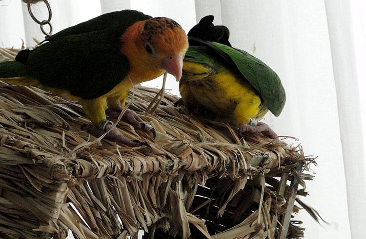 Beter een mannelijke of vrouwelijke vogel aanschaffen?