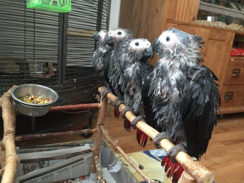 Doe dit voor papegaai en parkiet bij extreme hitte